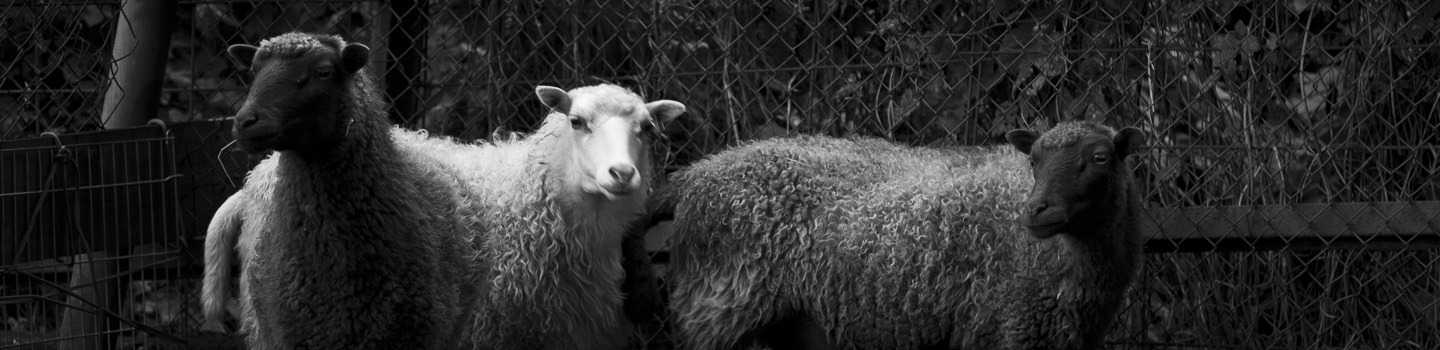 black and white sheep, photography: Charlie Alice Raya