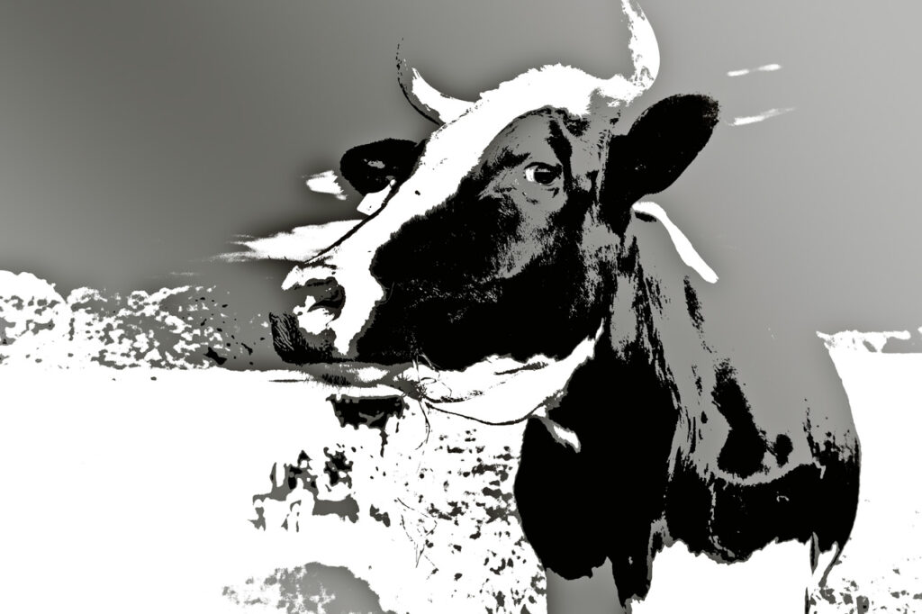 photo, title: the cow, 2010, by Charlie Alice Raya, limited edition